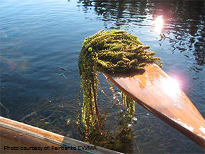 Lake survey, paddle full of Elodea