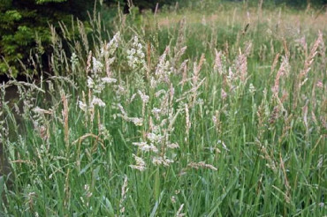 Reed Canary Grass infestations