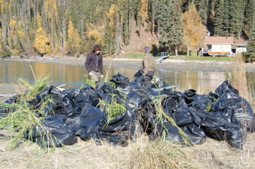 Bags of Reed Canary Grass that was pulled from the Kenai River
